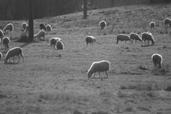 herd of sheep monochrome italy stock image