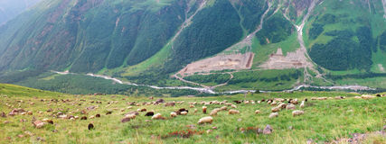 Herd sheep in mountain Stock Photo