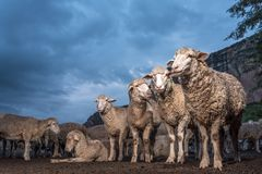 A herd of sheep with mountain in the background. A herd of sheep on Clarens farm with mountain in the background Royalty Free Stock Image