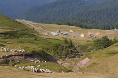 A herd of sheep. On the mountain Bjelasica, Montenegro royalty free stock image