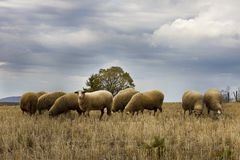 Herd of sheep on mountain meadow Stock Images