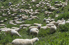 A herd of sheep on a mountain pasture. Stock Photography