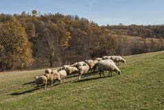 Herd of sheep on mountain pasture Royalty Free Stock Image
