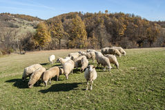 Herd of sheep on mountain pasture Royalty Free Stock Photos