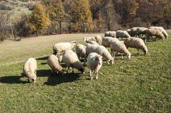 Herd of sheep on mountain pasture Stock Photo