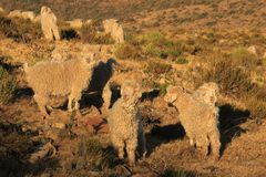 Sheep on mountain ridge in South Africa Royalty Free Stock Photos