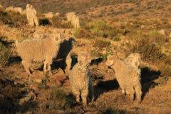 Sheep on mountain ridge in South Africa Royalty Free Stock Photos