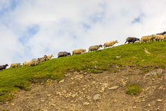 Herd of sheep in mountain rocks Royalty Free Stock Images