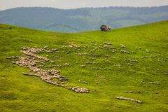 Herd of sheep on a mountain slope near Paltinis. Sibiu County, Romania Stock Photography