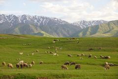 Herd of sheep in mountains Royalty Free Stock Photography