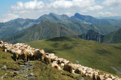 Herd of sheep in the mountains Stock Photos