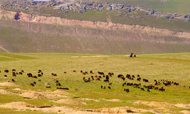 Herd of sheep in mountains Royalty Free Stock Images
