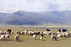 Herd of sheep with mountains on the background, Qinghai Lake. China stock image