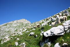 A herd of sheep in the mountains. Close topeak, Slovenia Royalty Free Stock Photo