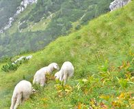 Herd of sheep in the mountains on a grassy terrain. They are eating grass stock images