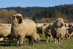 Herd of sheep on the move Stock Image
