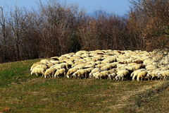 A herd of sheep. Is moving from a field to another meadow to eat the grass Royalty Free Stock Image
