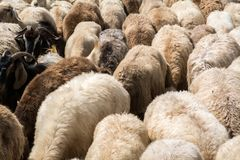 Herd of sheep. Moving Herd of sheep in the mountain stock photos