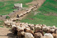 Herd of sheep. Moving Herd of sheep in the mountain stock photography