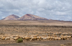 Herd of sheep near Montana Blanca, Lanzarote Royalty Free Stock Photo