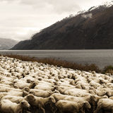 Herd Sheep nScenic View Lake Mountain Concept Stock Images