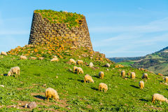 Herd of sheep by a Nuraghe. In Sardinia royalty free stock image
