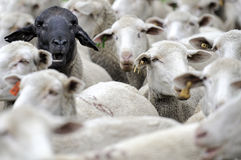A herd of sheep one black face. A herd of sheep bunched together one black face Stock Photos