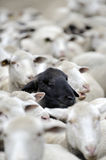 A herd of sheep one black face Stock Photography