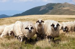 Herd of sheep, ovis aries Royalty Free Stock Image
