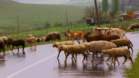 Herd of sheep pass through road stock footage