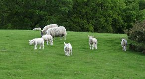Herd of sheep Stock Images