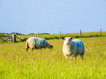 Herd of sheep on a pasture Stock Photography