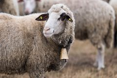 Herd of sheep on pasture royalty free stock images