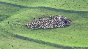 Herd of sheep pasture in the mountains Royalty Free Stock Photography