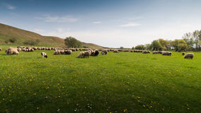 Herd of sheep on pasture in spring Royalty Free Stock Photography