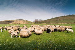 Herd of sheep on pasture in spring Royalty Free Stock Image