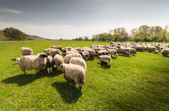 Herd of sheep on pasture in spring Stock Images