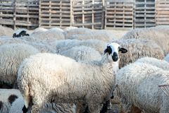 Herd of sheep in a pen,. In a colorful village Stock Photo