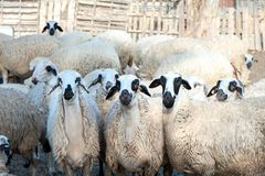 Herd of sheep in a pen. In a colorful village Stock Images