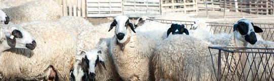 Herd of sheep in a pen,. In a colorful village Stock Photos