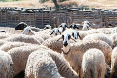 Herd of sheep in a pen. In a colorful village Stock Photos