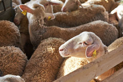 Herd of sheep in pen on farm Royalty Free Stock Photography