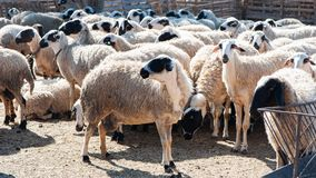 Herd of sheep in a pen,. In a colorful village Royalty Free Stock Photo