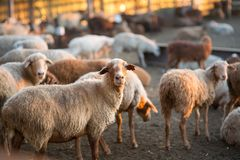 Herd of Sheep in the pen Stock Image