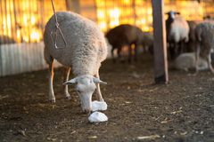 Herd of Sheep in the pen. Sheep at sunset returned home Stock Photo