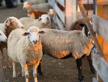 Herd of Sheep in the pen. Sheep at sunset returned home Stock Images