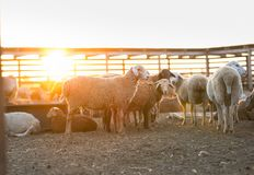 Herd of Sheep in the pen. Sheep at sunset returned home Royalty Free Stock Images