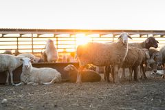 Herd of Sheep in the pen. Sheep at sunset returned home Royalty Free Stock Photo