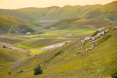 Herd of sheep at Piano Grande, Umbria, Italy Stock Image