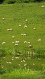 Herd of sheep reflected in water, England, United Kingdom, Europe Stock Photo